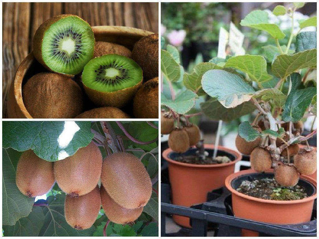 Kiwi Fruit Mixed Seeds Grown In A Pot Fruit Trees In Containers Growing Fruit Trees Home Garden Plants