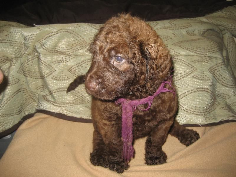 Chesadoodle Chesapeake Bay Retriever X Standard Poodle What Will