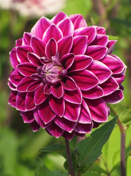 The Impressive Flower Of Dahlia Purple Pearl Is Joy To See The Purple Red Is Complemented With White Edge Pretty Flowers Pictures Flowers Nature Dahlia Flower