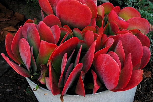 red succulents such as this succulent red cactus are known as