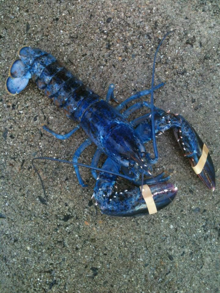 Blue Lobster from Camden, Maine