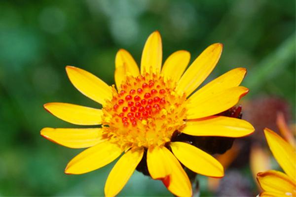 Laboratoire Lescuyer Fleurs jaunes, Plante, Plante herbacée