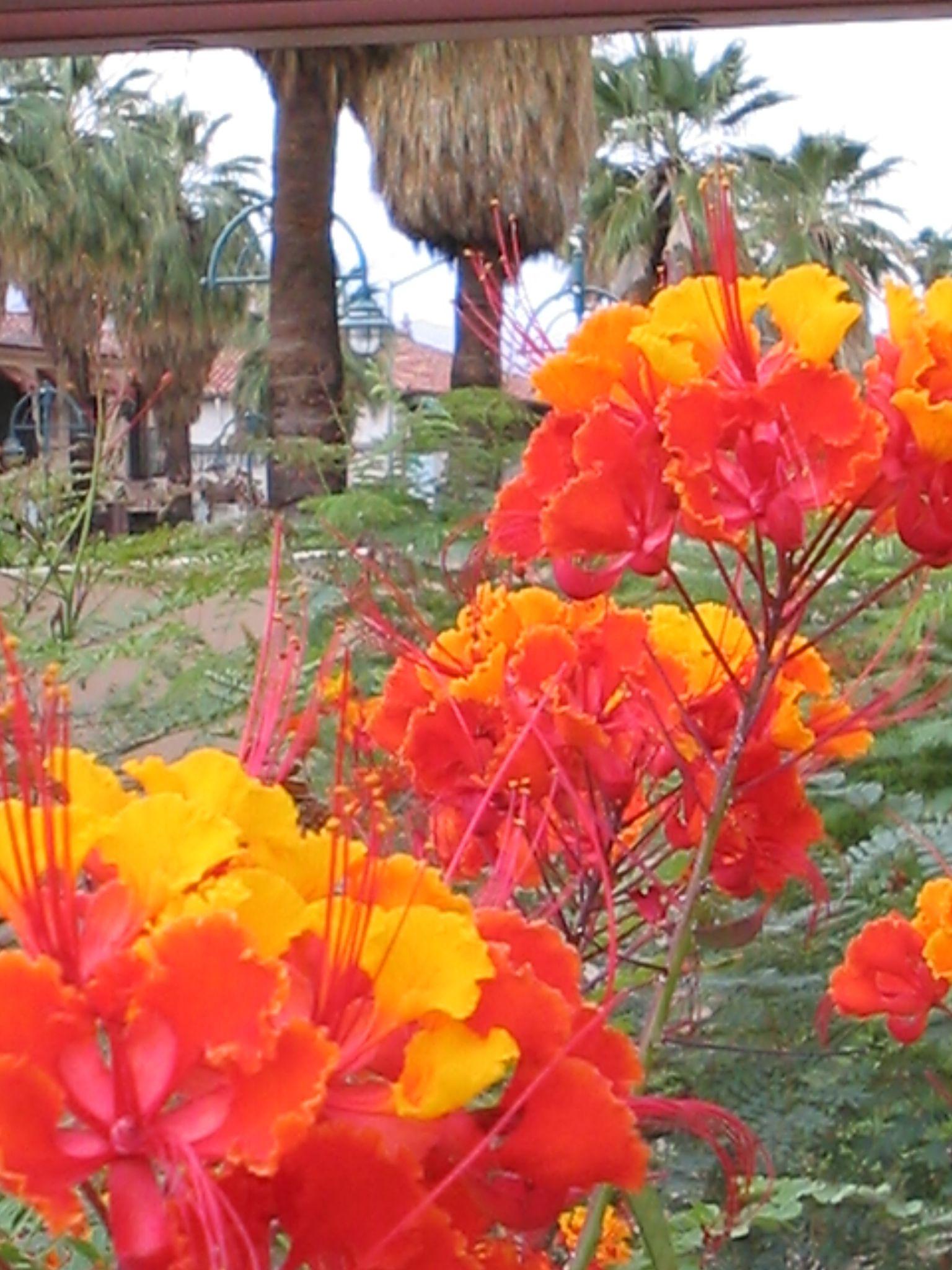 Palm Springs Desert Flowers Palm Springs Desert Flowers Desert