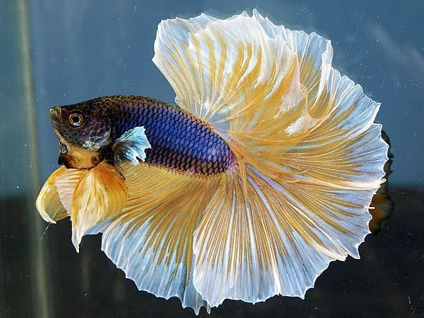 Tropical fish keeping of bettas siamese the siamese for Healthy betta fish