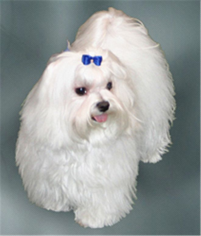 What Breed Of Dog Is A Maltese Facts And Pictures