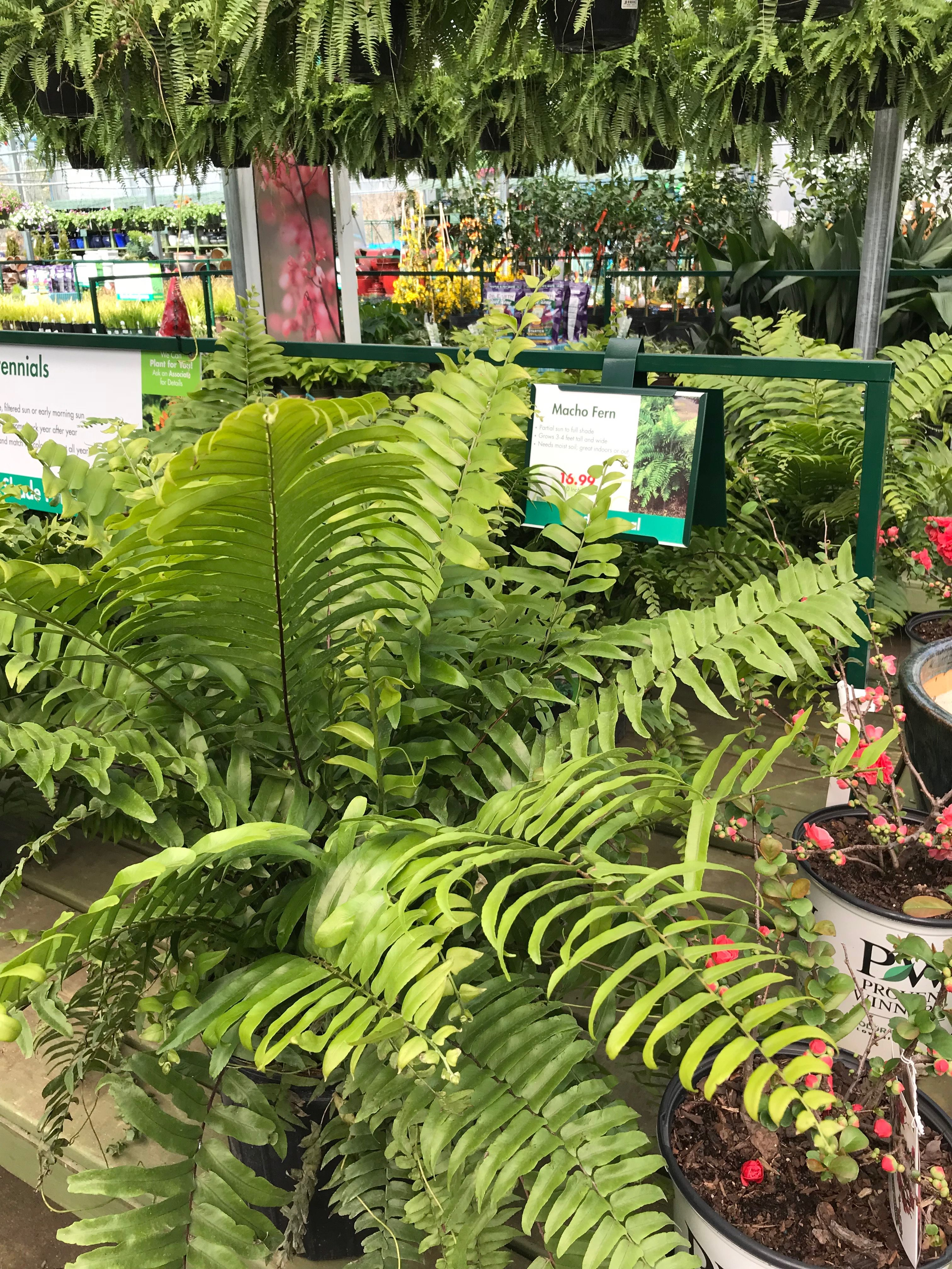 Macho Fern Pikes Nursery