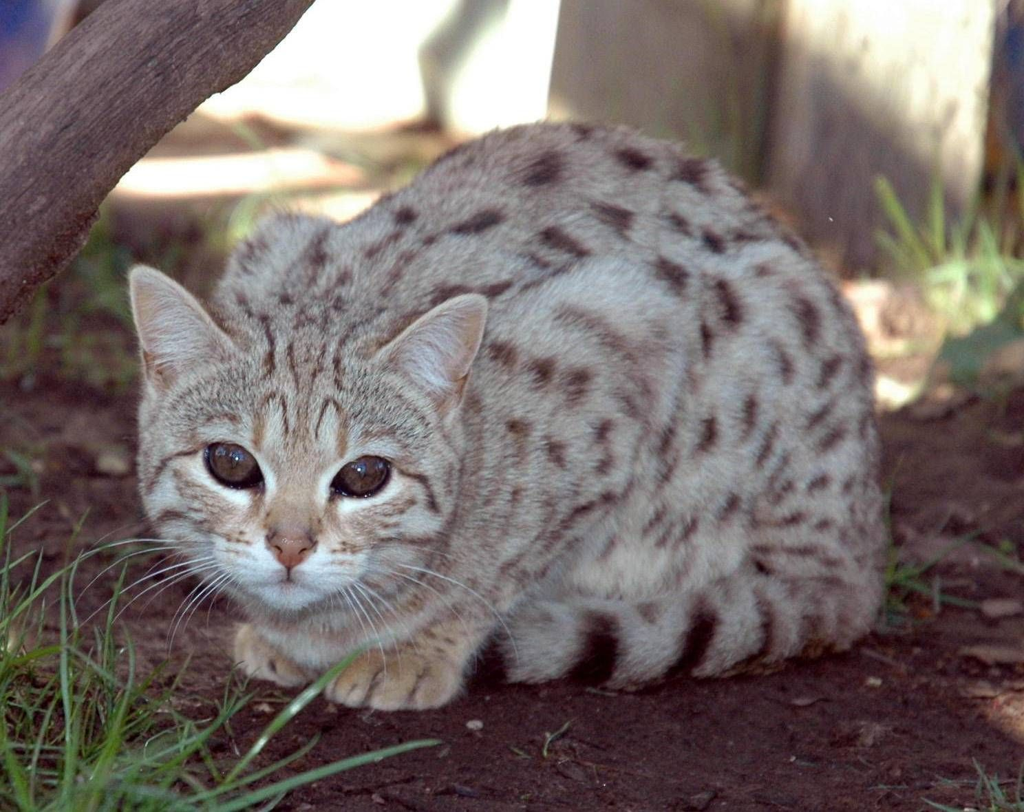 Silver Bengal Cat, This silver Bengal cat has an intense black and ...