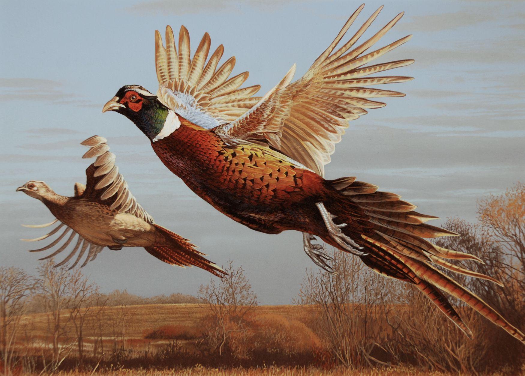 game bird  Birds  Pinterest  Pheasant, Bird and Wildlife