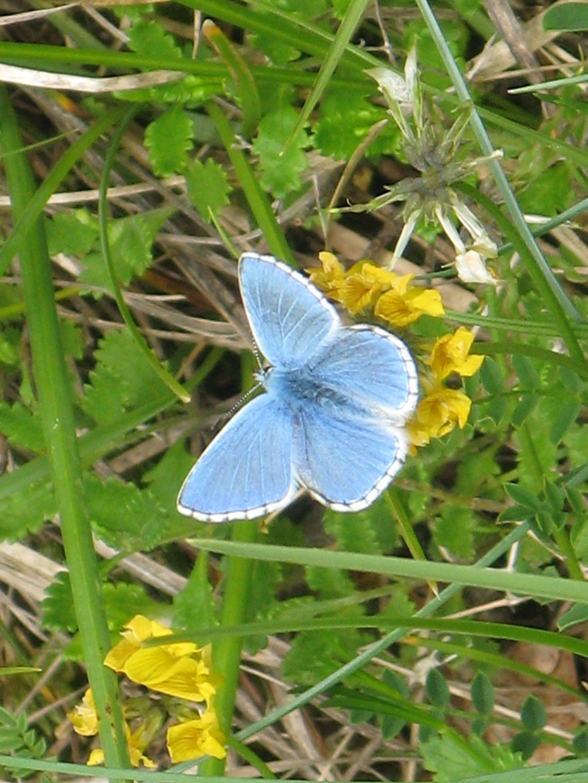 Adonisblauwtje,  Jura