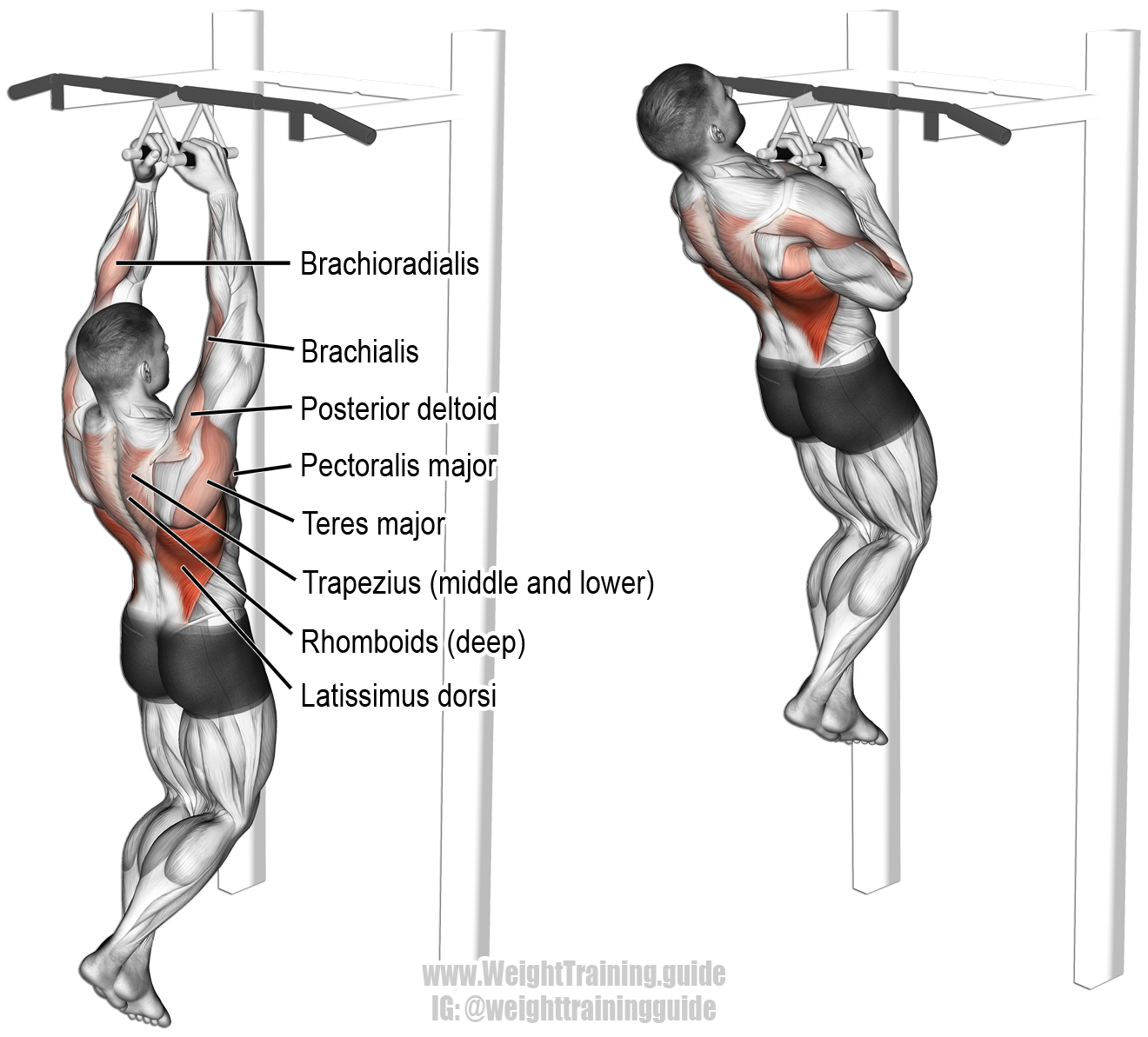 Close neutral grip pull-up exercise and video | Muskel, Übungen und ...