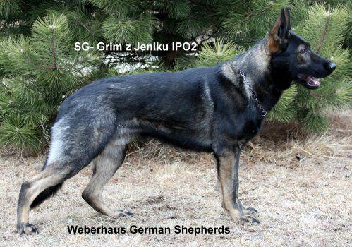 Long Hair Ddr Black Sable Gsd German Shepherd German Shepherd