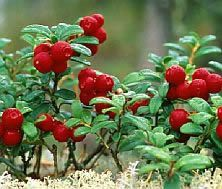 Mountain Cranberry/Lingonberry - Charming and rarely seen, this refined little glossy evergreen grows only 2-3 inches high with shiny leaves a third of an inch long. Intricate dense clusters of pink bells pop open in spring; Autumn brings edible and nutricious scarlet berries that are quite beautiful.