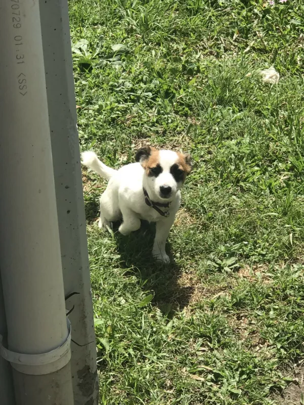Puppy Jack Russell X Mini Foxie Dogs Puppies Gumtree