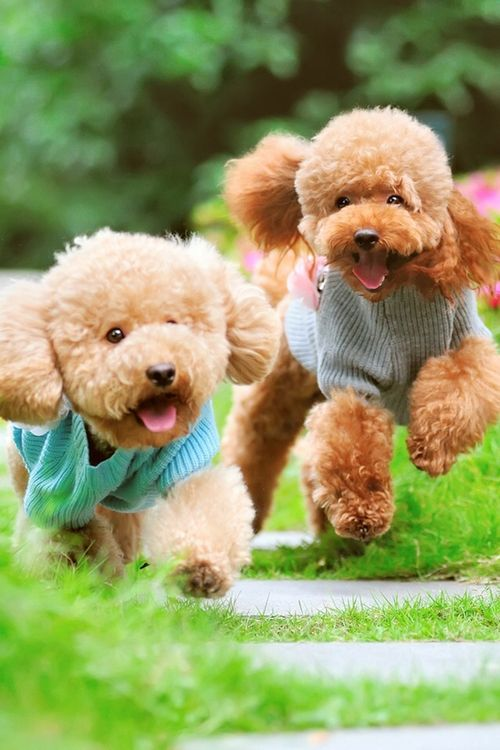 happy poodles!