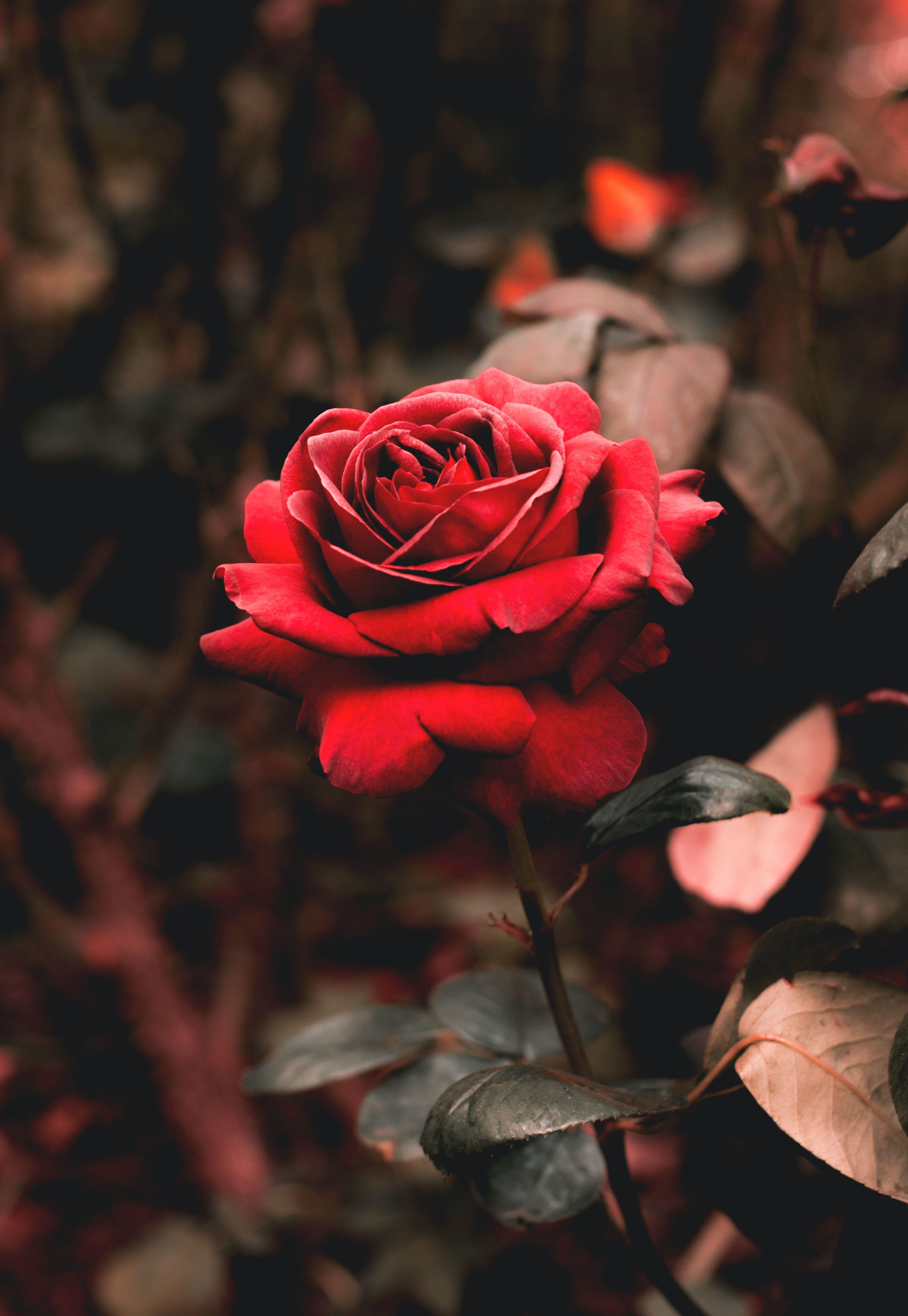 Red Rose Rose Wallpaper Rose Flower Photos Red Flower Photos