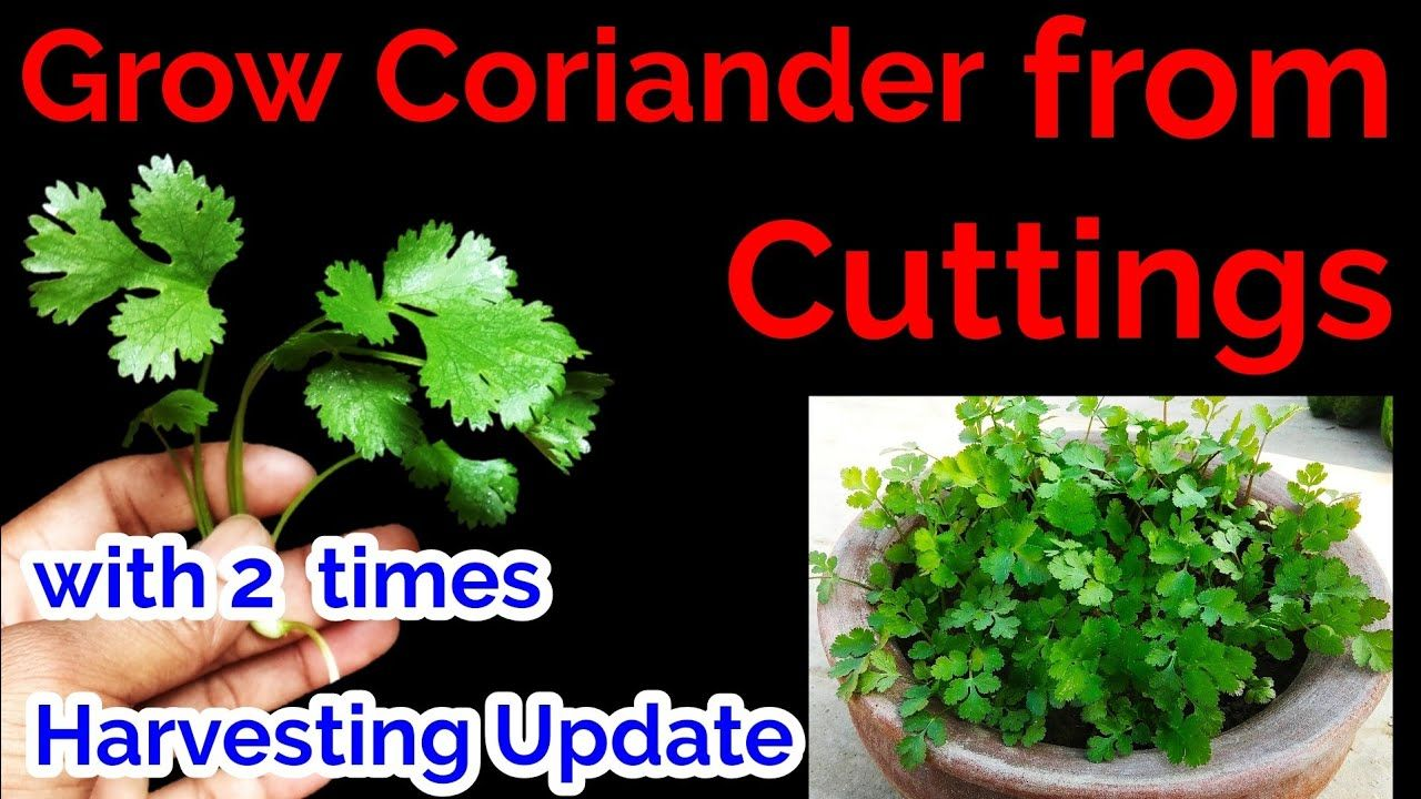 Grow coriander from cuttings/How to grow coriander at home