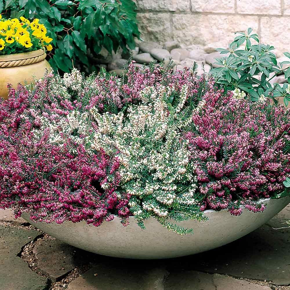 mixed purple and white heathers winter flowering plants for
