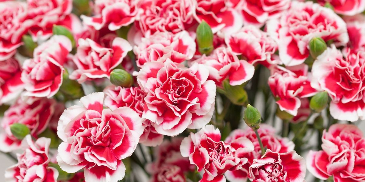 9 Reasons Carnations Are Actually The Best Birth Month Flowers Month Flowers Flower Gift Ideas