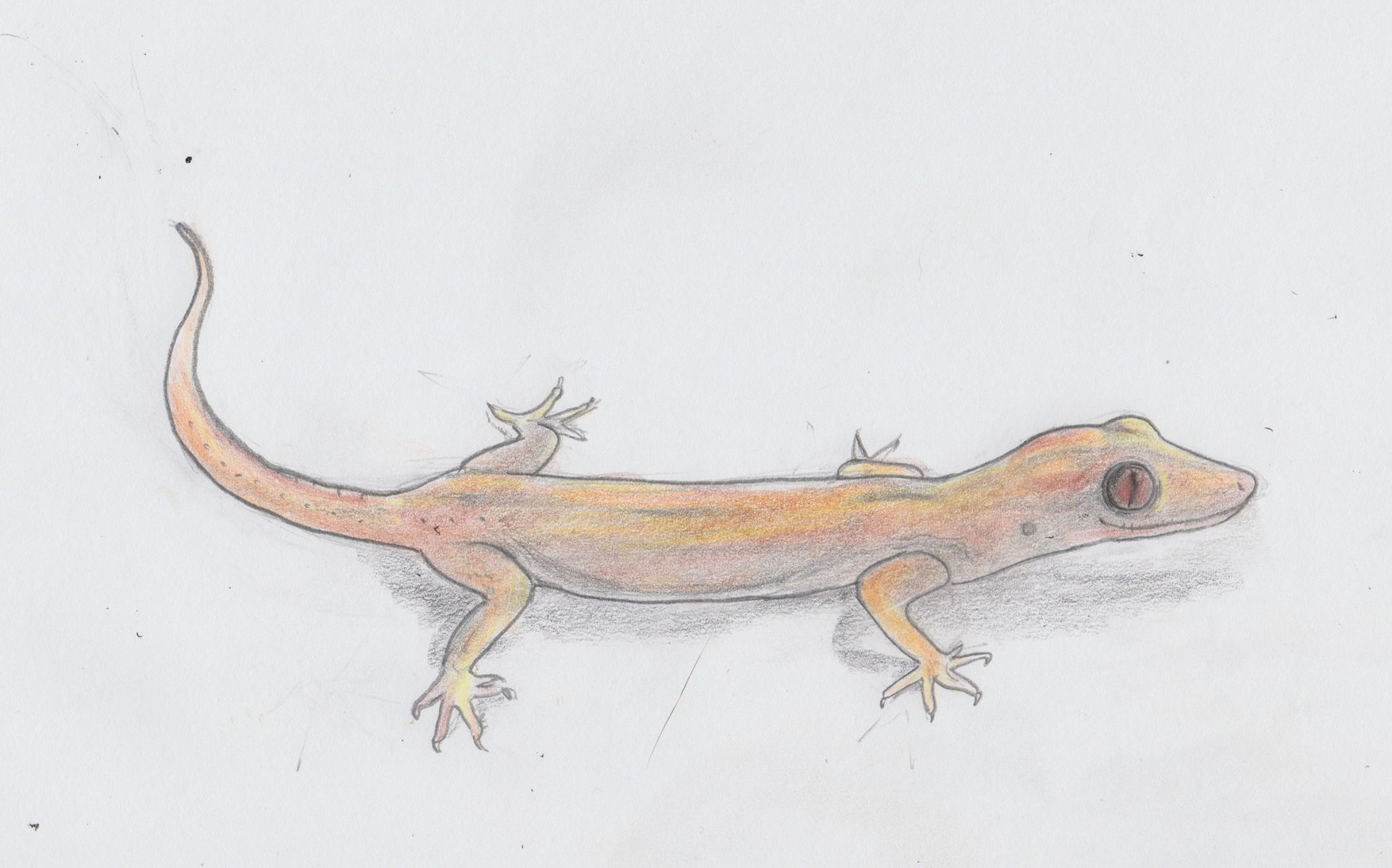 asian gecko quick drawing project jenny jump pencil drawing
