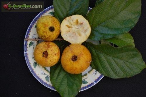 Campomanesia lineatifolia / palillo
