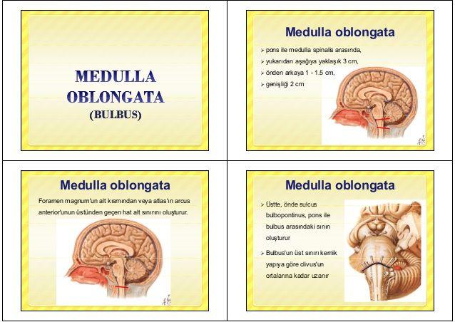 (BULBUS)(BULBUS)(BULBUS)(BULBUS) M d ll bl tMedulla oblongata  pons ile medulla spinalis arasında,  yukarıdan aşağıya ya...