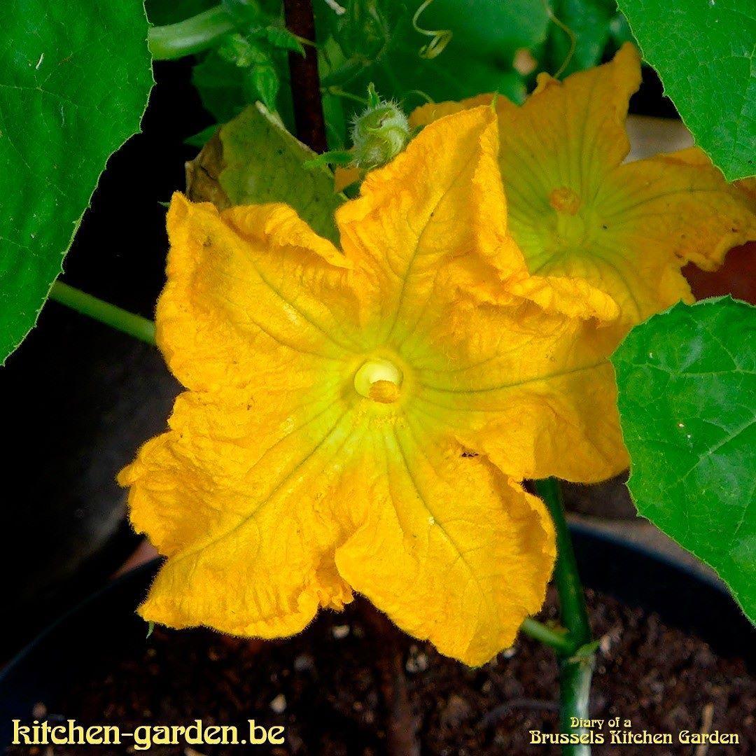 First pumpkin flowers kitchengarden gardening growing flowers first pumpkin flowers kitchengarden gardening growing flowers pumpkin pumpkins are part mightylinksfo