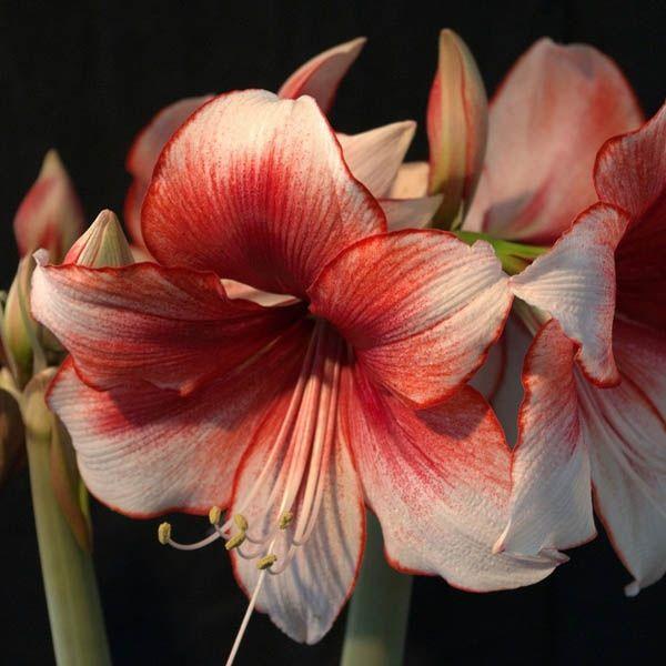 Amaryllis 'Charisma' (avec images) | Plante de noel, Bulbes de printemps, Pot de fleur design