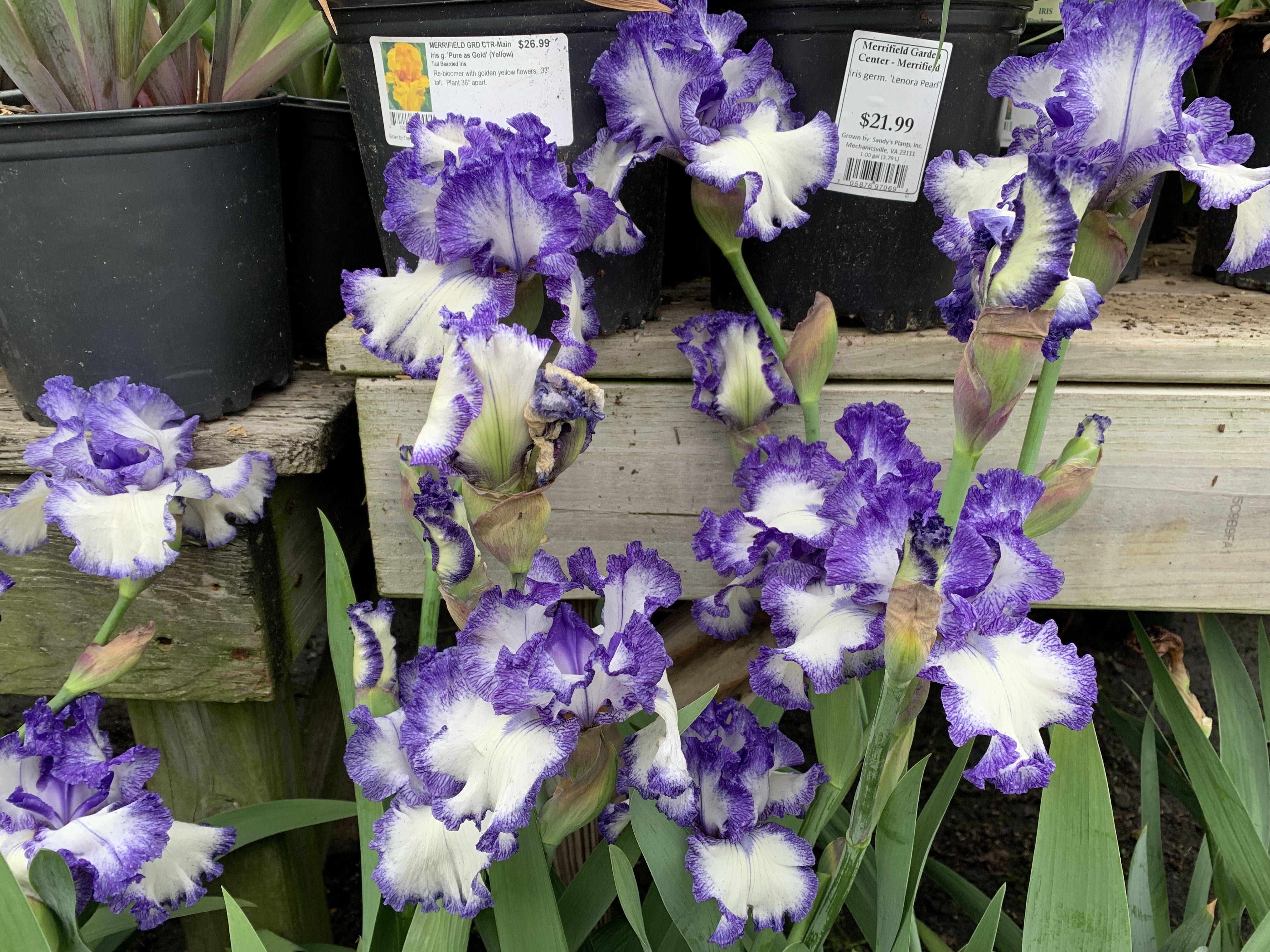 Purple And White German Bearded Irises At Merrifield Garden Center In Vienna Va May 2019 Iris Flowers Beautiful Flowers Purple Flowers