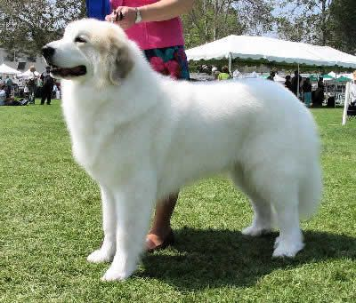 Great Pyrenees Good For Watching Sheep Or Kids Or For Getting