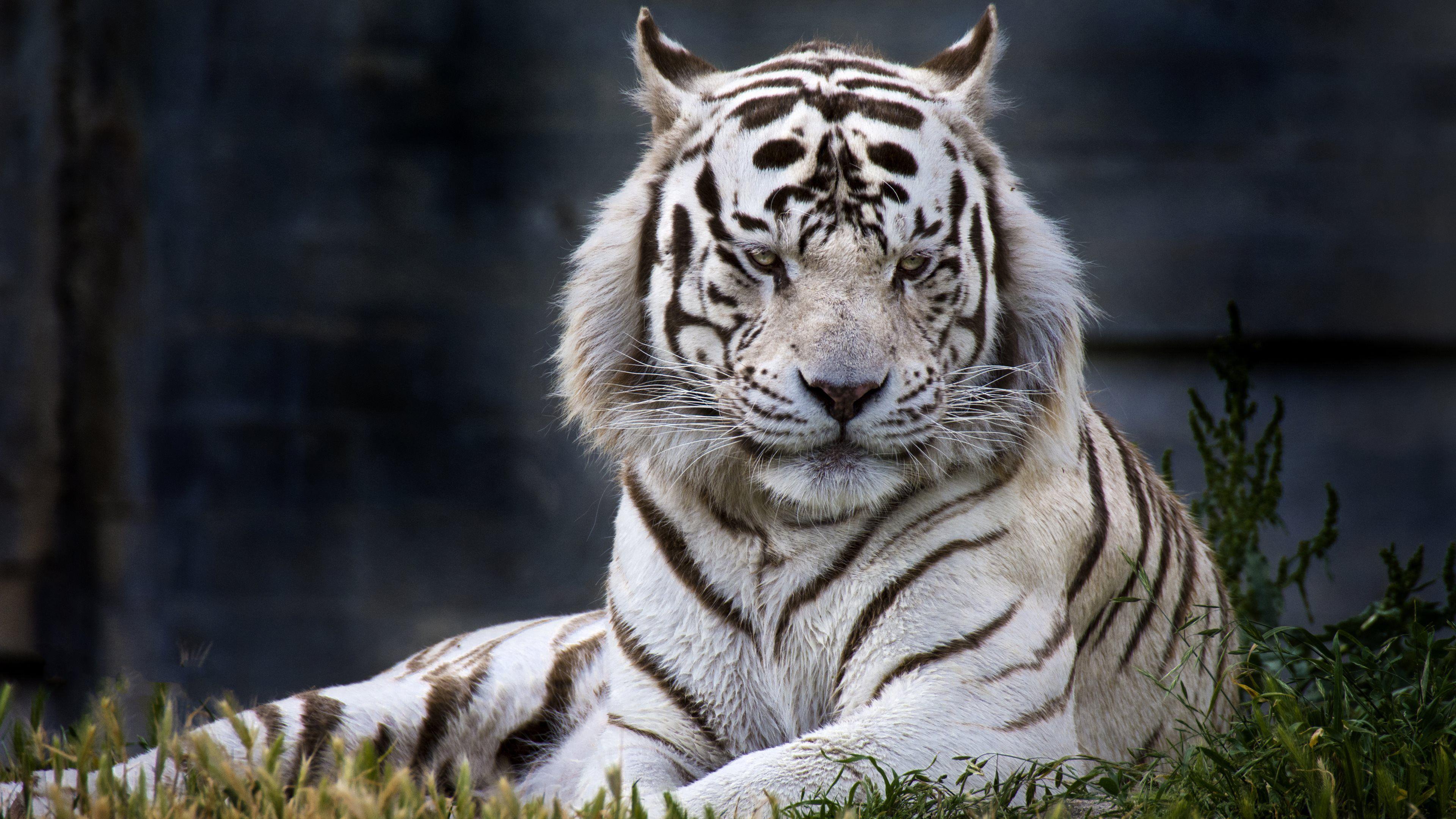 high definition tiger desktop | animal world | pinterest | tiger