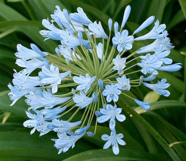 Pale Blue Flowers Aquamarine Dreams March S Favorite Flower Color Bloomin Blog Flowers Perennials Agapanthus Praecox Agapanthus