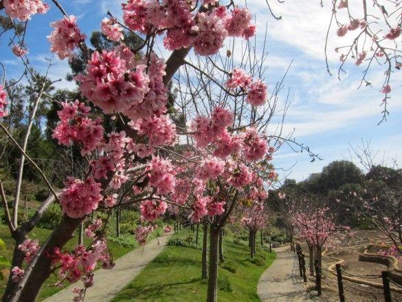 10th Annual Cherry Blossom Festival In Balboa Park La Jolla Blue Book Blog Cherry Blossom Festival Festival Dates Cherry Blossom