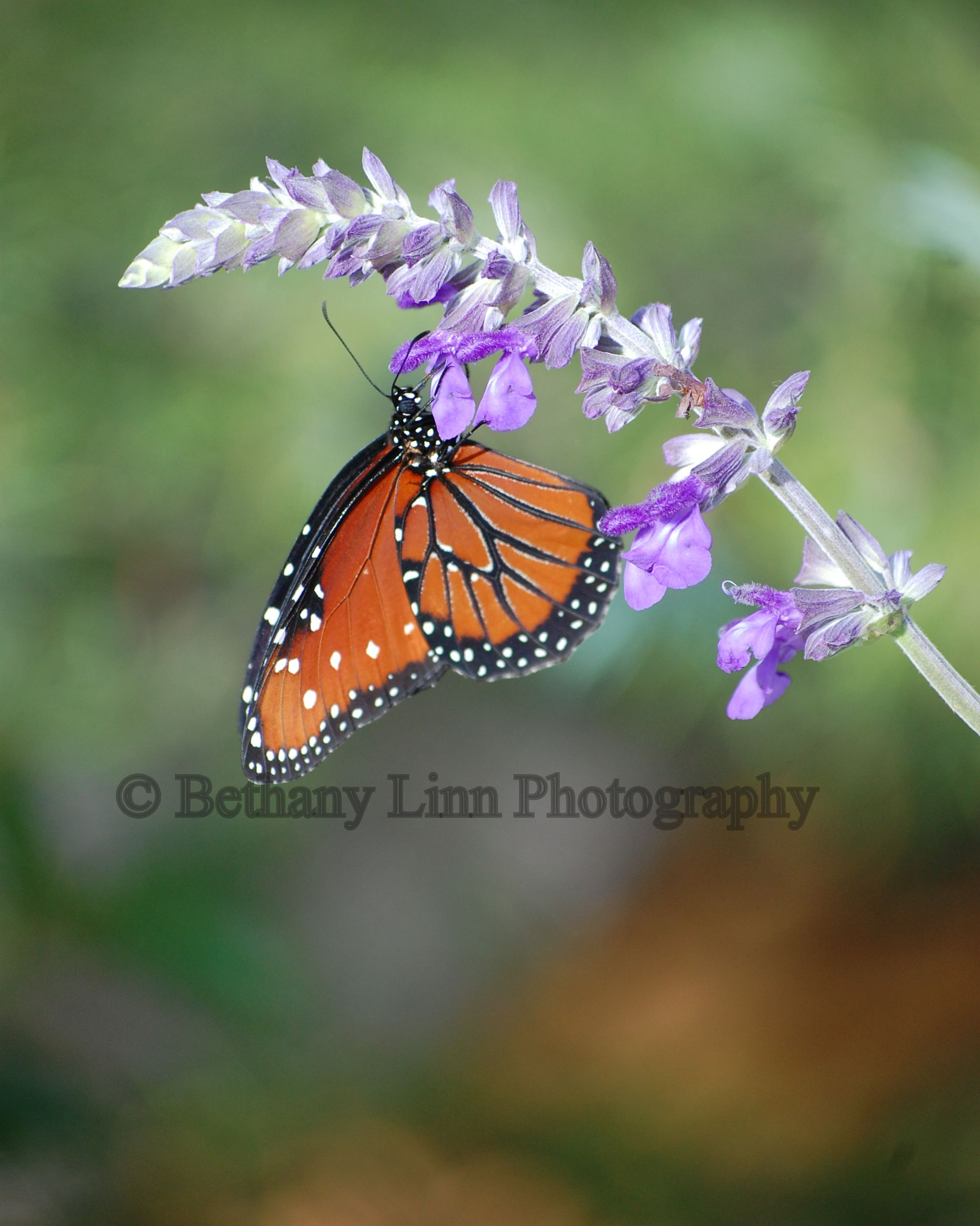 Monarch getting a little nectar to go... beautiful butterfly in summer. www.bethanylinnphotography.com