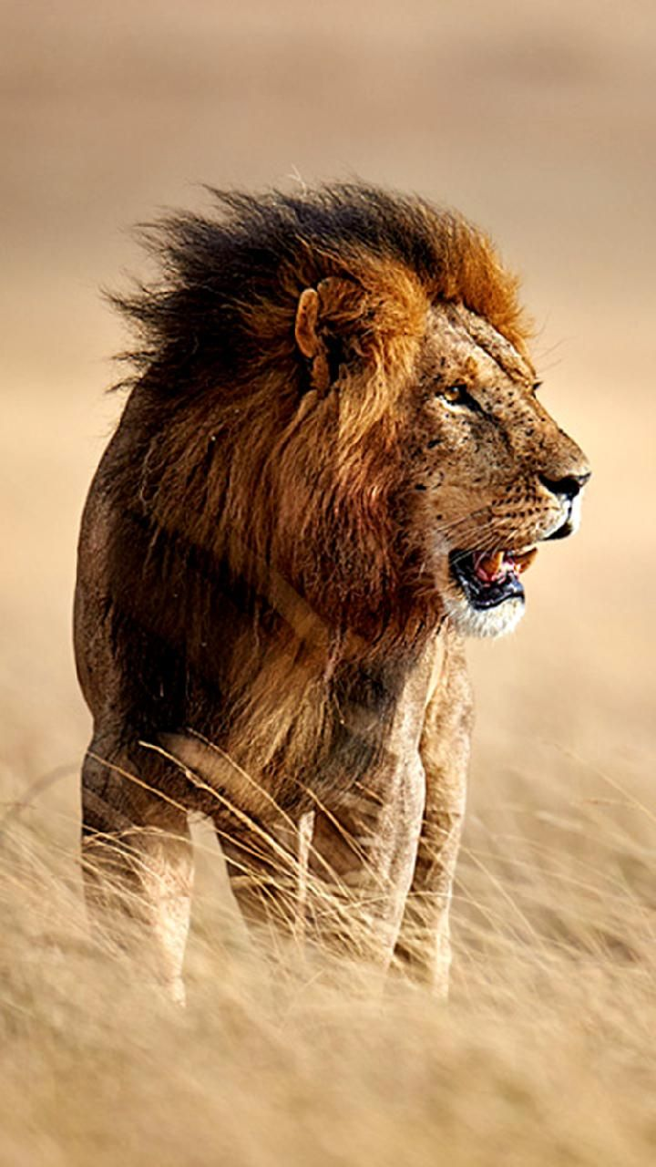 Download Wild Lion Wallpaper By Givenchy 07 Free On Zedge Now Browse Millions Of Popular Lion Wal Fotos De Leon Leon Fondo De Pantalla Animales Feroces