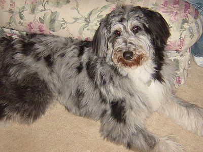 The Cadoodle Collie Poodle Mix At 1 Years Old Poodle Mix