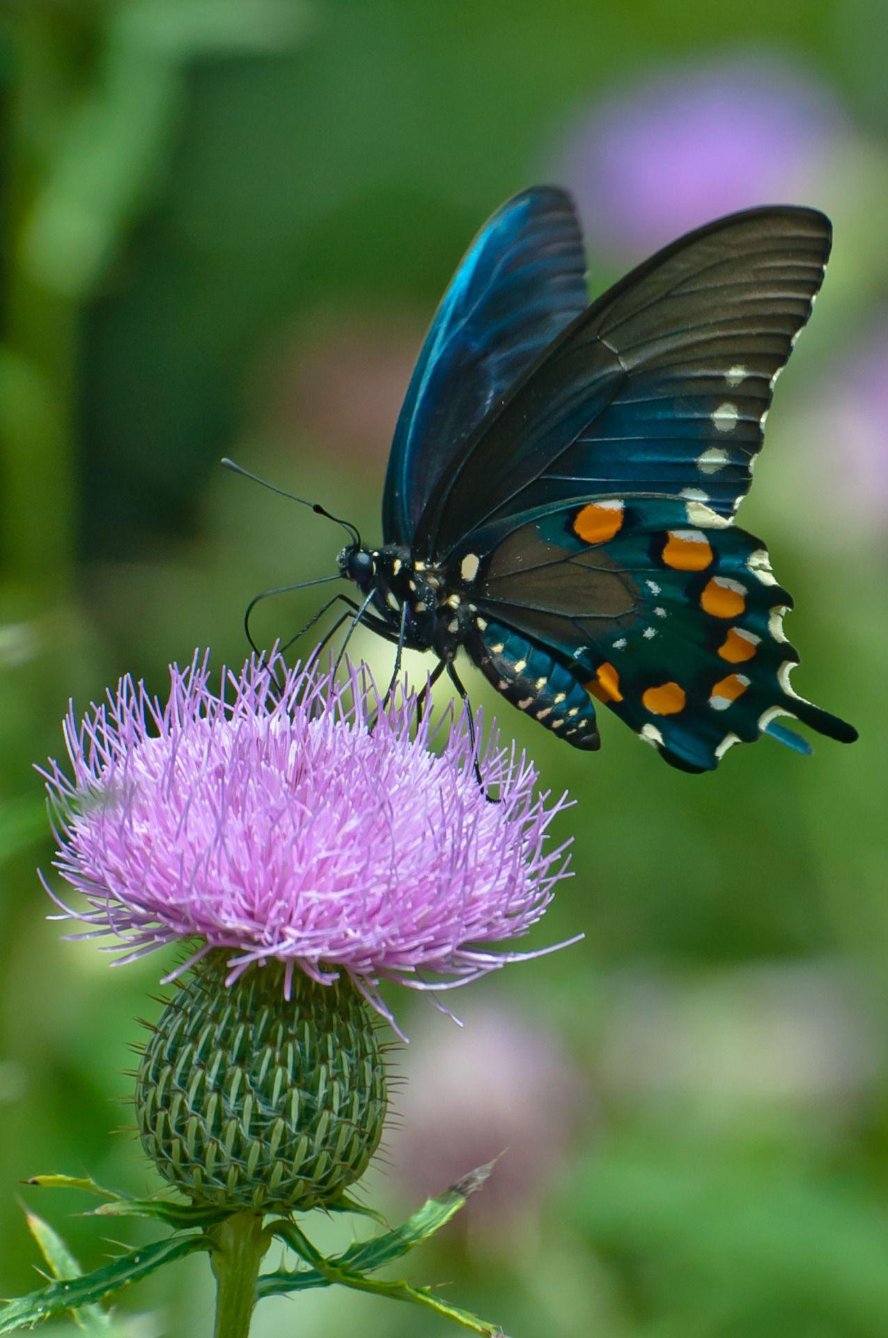 CrossTimberLake • Pipevine Swallowtail Butterfly in 2020
