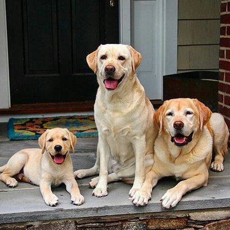 Family Puppy Lab Dogs Puppies And Kitties Dog Lovers