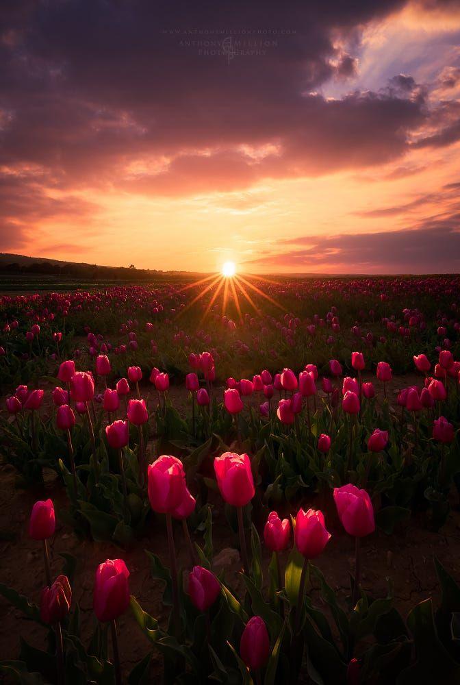 Prelude Of Spring By Anthony Million Field Landscape Sunset Spring Sunburst Sunstar Fra Beautiful Nature Flowers Photography Landscape Photography