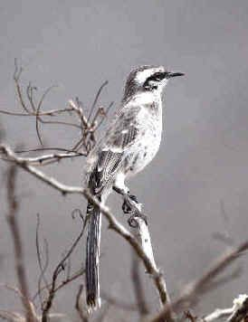 Long-tailed Mockingbird photographed during  the FONT tour in Ecuador in July 2013.
