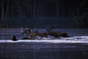 A red deer stag and cows wade in a lake in the hunting area of the SEFAG Forestry and Timber Industry Joint Stock Company near Barcs, Hungary, 17 September 2015.