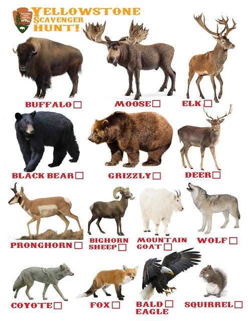 Yellowstone Scavenger Hunt Yellowstone Animal Checklist