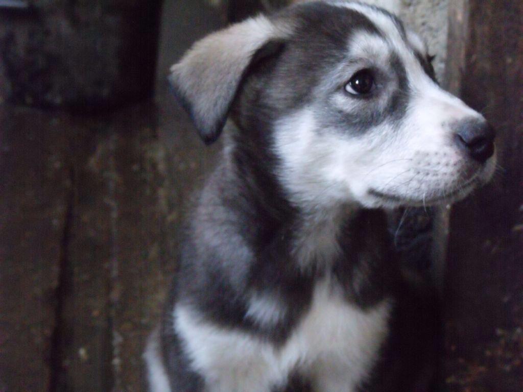Labrador Cross Husky Yes Please Puppies Puppy Photos