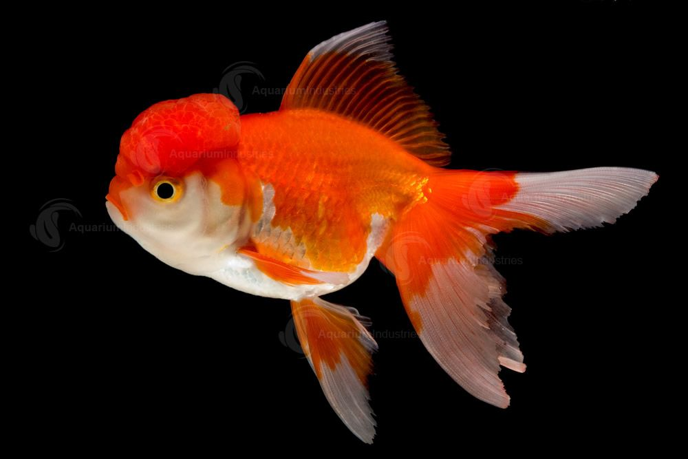 Large fancy goldfish we have some exciting fancy goldfish for The fancy fish
