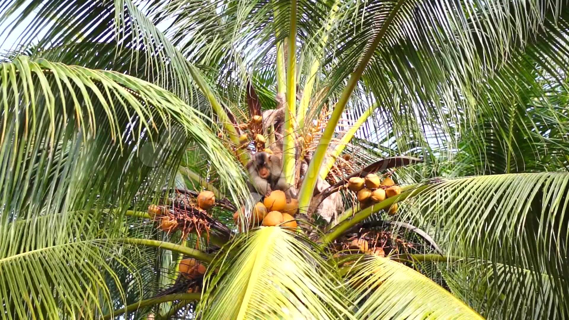 13 Different Types of Coconuts that Grow Around the World