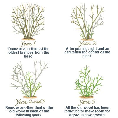 Shrub Pruning Dos And Don Ts Pruning Shrubs Garden Shrubs Trees To Plant