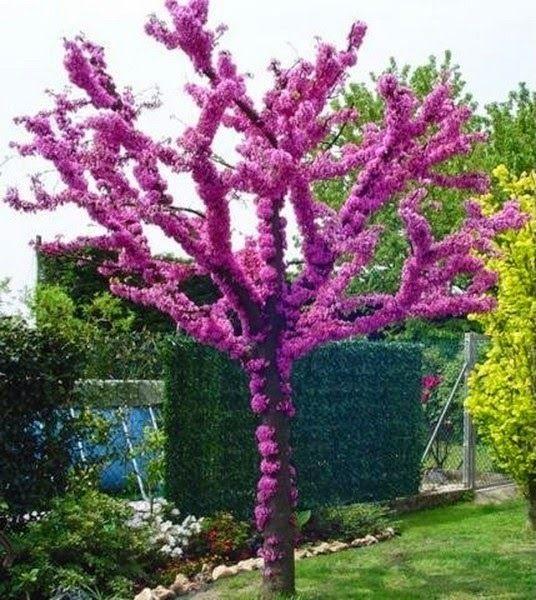 Judaszowiec Kanadyjski Uwodzi Pieknem Producent Redbud Tree Judas Tree Tree Seeds