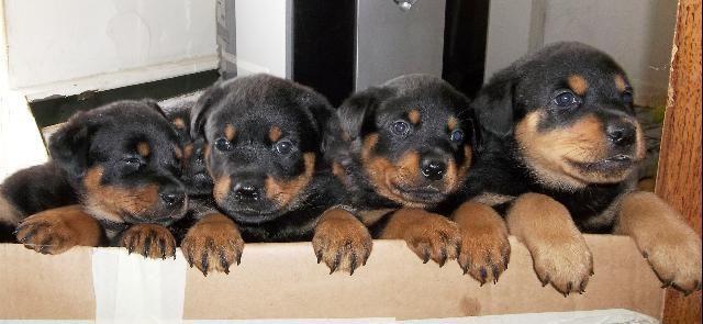 American Rottweiler Puppies Puppy Love Rottweiler Puppies For Sale Puppies Dogs Puppies