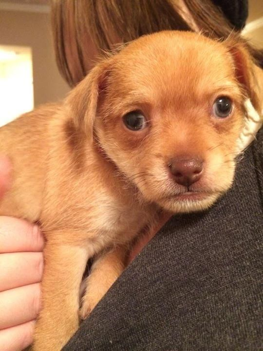 Adopt Vail On Chihuahua Humane Society Cute Animals