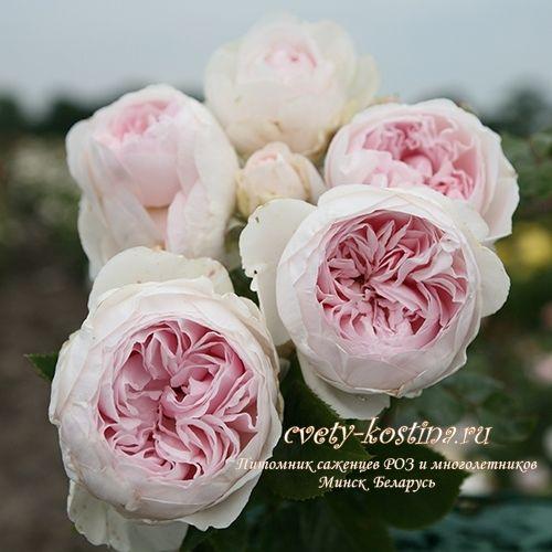 бело-розовая роза флорибунда сорт Herzogin Christiana ...