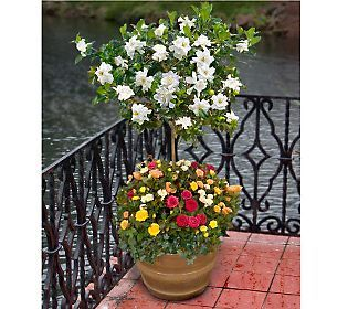 Lovely Cottage Farms Double Blooming Gardenia Patio Tree